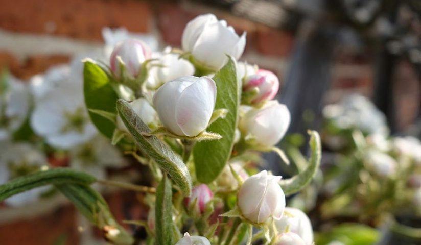 Königliche Birnenblüte am Brümmerhof