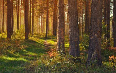 Wald in der Morgendämmerung