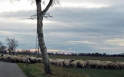Schafe_klein2