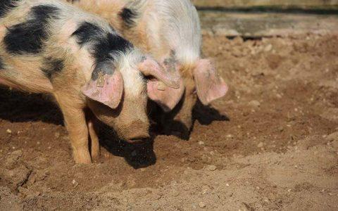 Schweinis3_klein-1